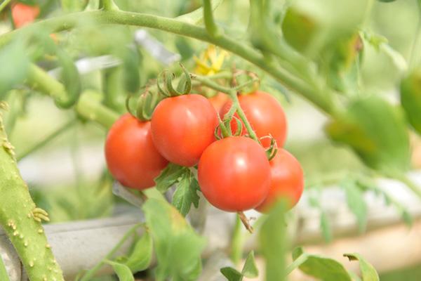 おかやまオーガニック・有機JAS規格認定・安心・安全・野菜・おかやま有機無農薬野菜・岡山